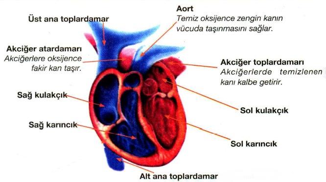 Kalbin-bolumleri-nelerdir-